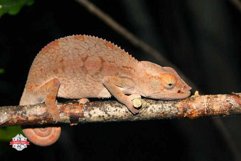 Panther-chameleon-at-night-in-the-Anjajavy-Forest
