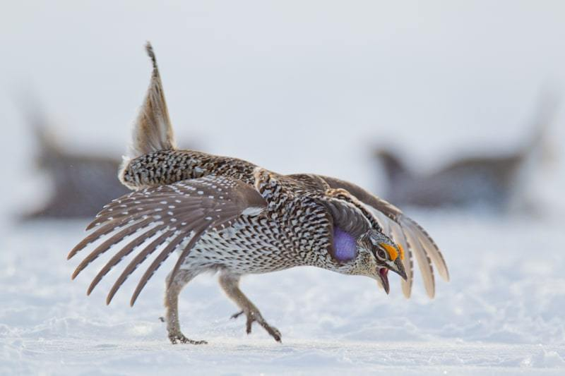 Columbian Sharp-tailed Grouse (Tympanuchus phasianellus columbianus) performs a dance on the lek during spring mating season at Battle Mountain near Dixon، WY.